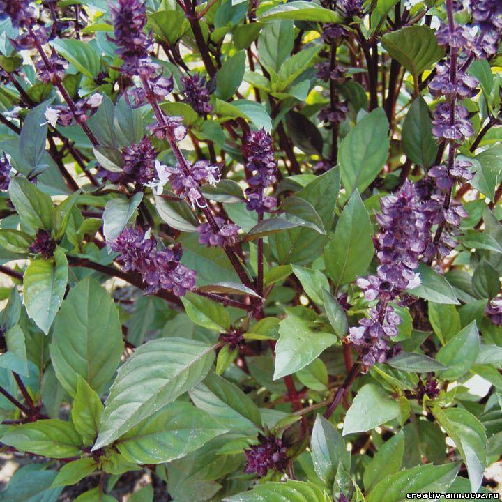 базилик растение лицо