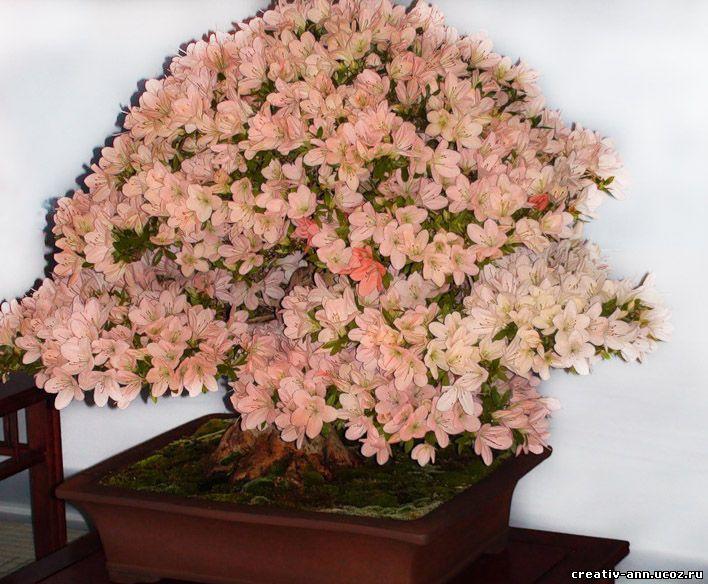 штамбовое дерево азалии